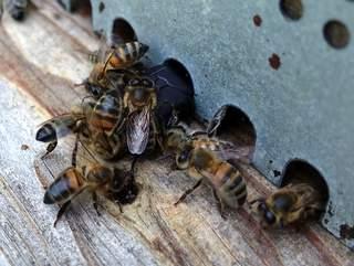 Les cétoines sont blindées, mais les abeilles finissent par les inactiver si elles sont bloquées