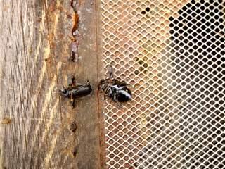 Protection des ruches : nombreuses cétoines collées à la propolis au plateau par les abeilles