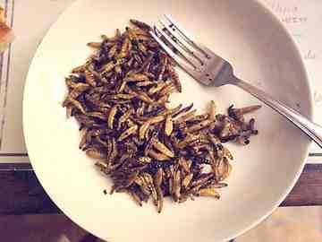 Les larves de Galleria doré cuites, servies nature dans l'assiette